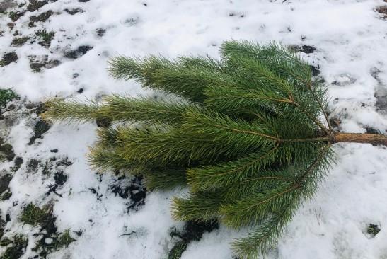 Після свят ялинки не на смітник – куди нести дерево у Львові